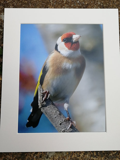 Goldfinch 10x8 signed & mounted print