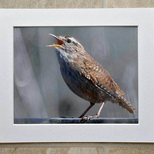 Wren song - 10x8 mounted print