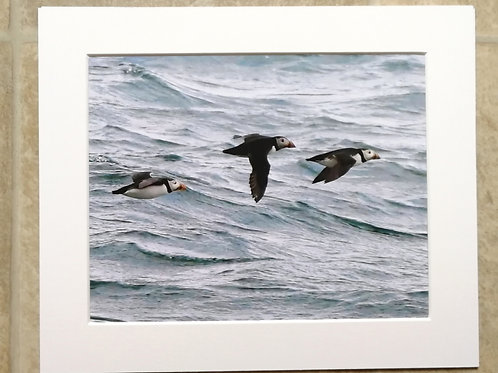 Puffins over the sea - 10x8 mounted print