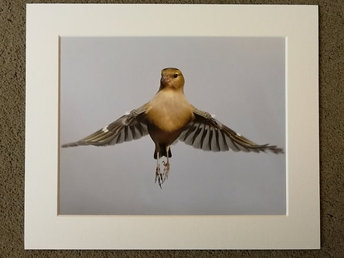 10x8 mounted print, Ballerina Chaffinch