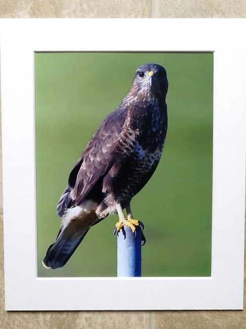 Buzzard on a post 2 - 10x8 mounted print