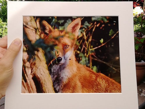 Watchful Fox 10x8 signed & mounted print
