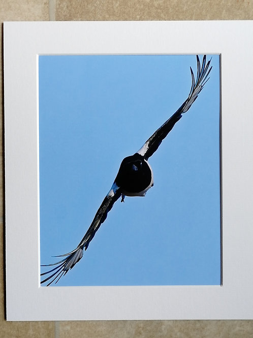Magpie coming straight at me - 10x8 mounted print