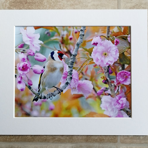 'Goldfinch in Cherry Blossom' 10x8 signed & mounted print