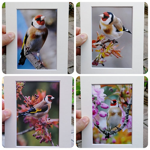 Set of 4 'The Daily Goldfinch' 6x4 signed & mounted prints