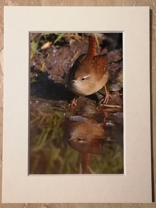 Wren reflection, 6x4 signed & mounted print