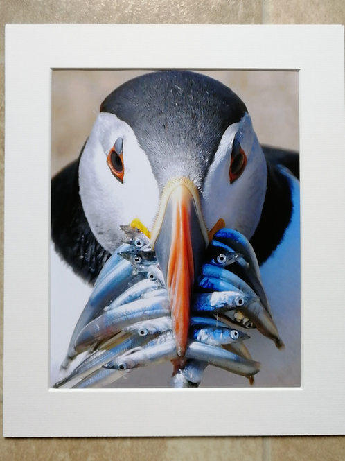 Puffin with a beakful - 10x8 mounted print