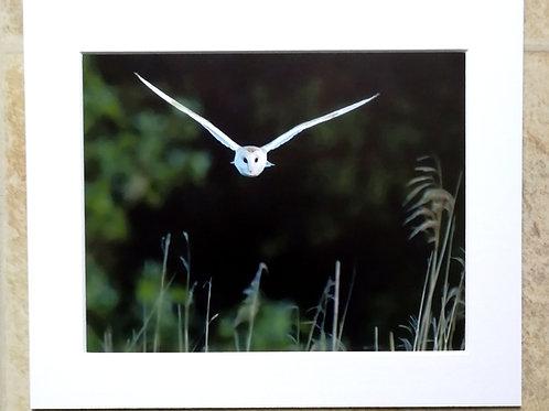 Barn Owl approach - 10x8 mounted print