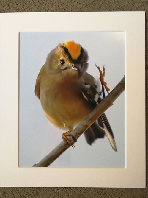 10x8 mounted print, Goldcrest Hello