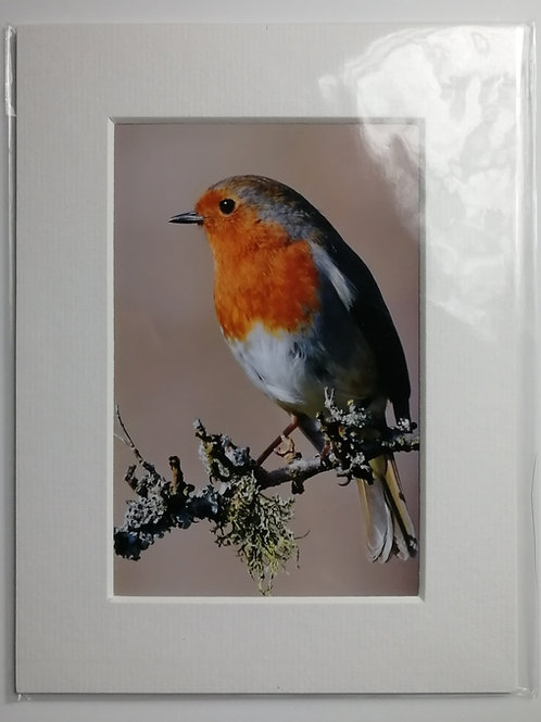 Robin on branch - 6x4 mounted print