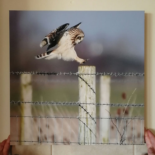 Short Eared Owl 16x16 canvas print