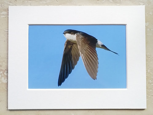 Wings down House Martin - 6x4 mounted print