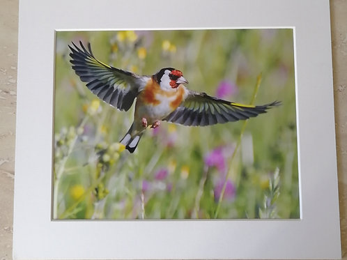 Goldfinch in flight 10x8 mounted print