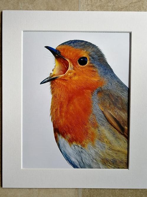 Singing Robin portrait - 10x8 mounted print