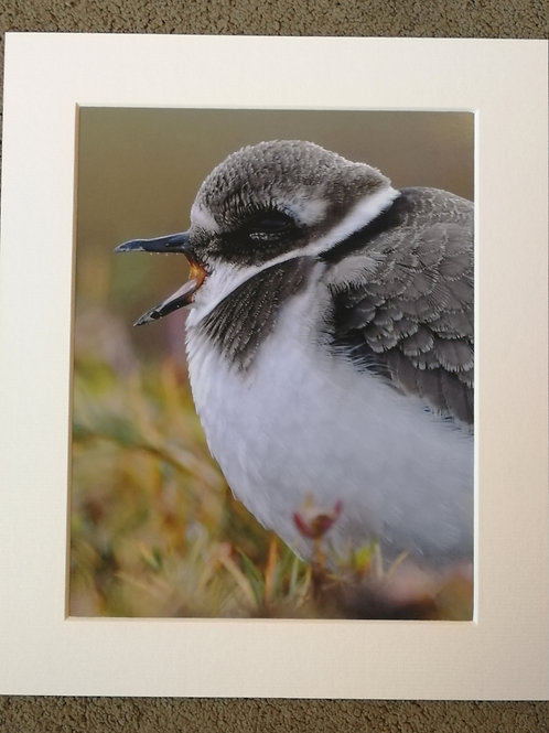 SPECIAL OFFER - 10x8 mounted print, Yawning Ringed Plover