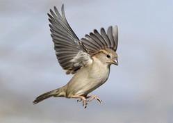 6. House Sparrow.JPG