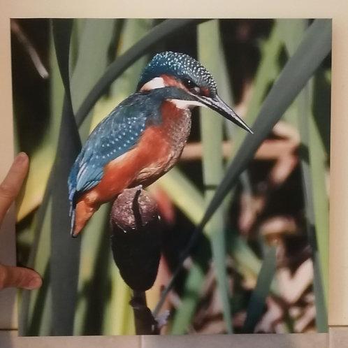Canvas 16x16 - Kingfisher
