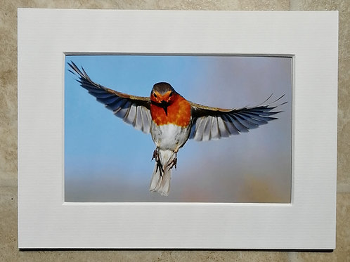 Hovering Robin - 6x4 mounted print