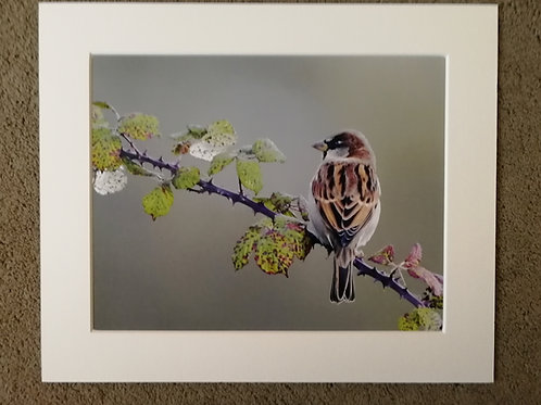 10x8 mounted print, Bramble Sparrow