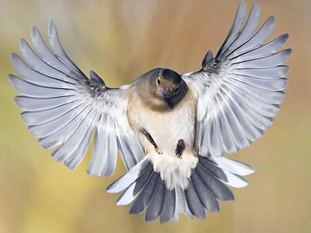 January 2020, lots of little birds and a male Hen Harrier!