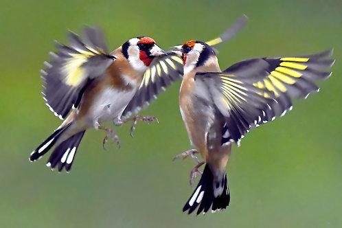 Digital Print - Beak to beak Goldfinches