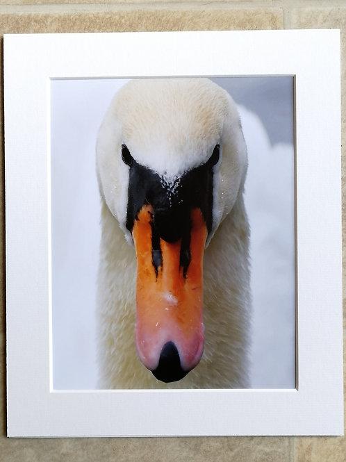 Mute Swan portrait - 10x8 mounted print