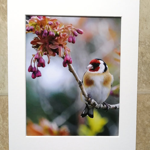 Goldfinch and blossom - 10x8 mounted print