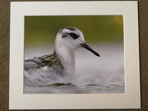 SPECIAL OFFER - 10x8 mounted print, Phalarope portrait