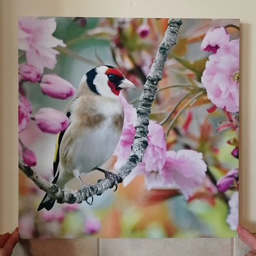 Goldfinch in Cherry Blossom - 16x16 canvas print