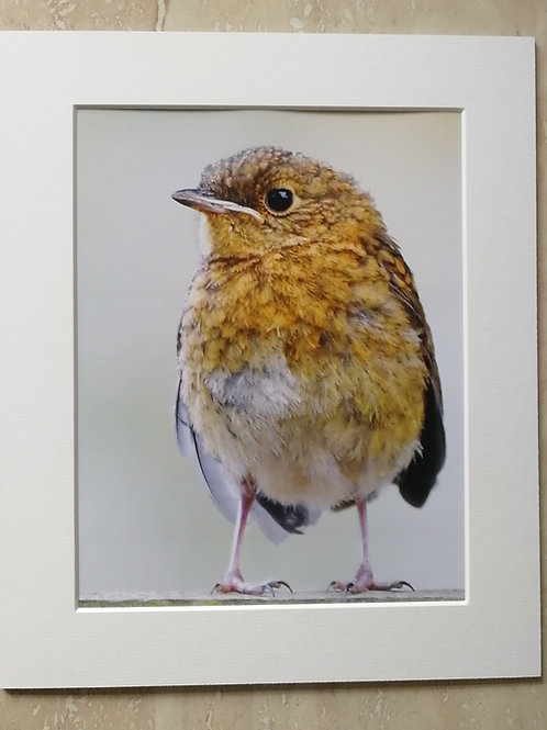 Baby Robin - 10x8 mounted print