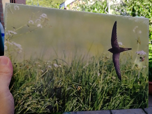 12x8 canvas print - Low Flying Swift