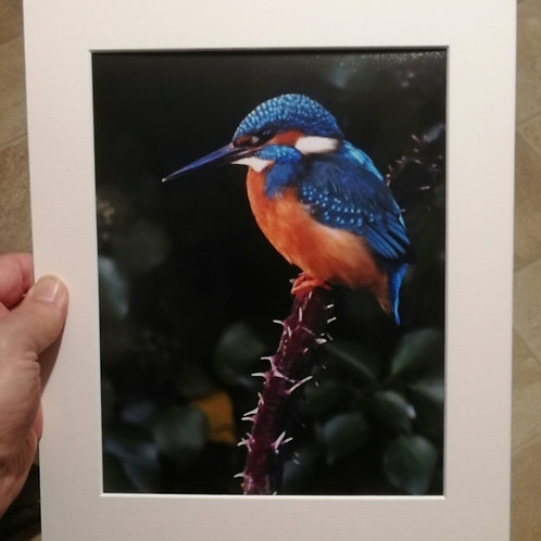 Kingfisher on a thorny branch - 10x8 mounted print