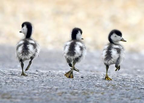 34. Shelduck chicks.JPG