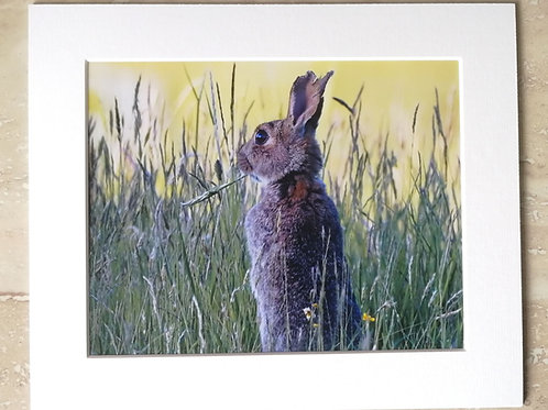 Rabbit in the grass - 10x8 mounted print
