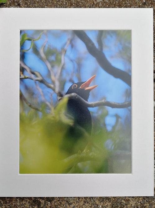 'Partially hidden Blackbird in song' 10x8 signed & mounted print
