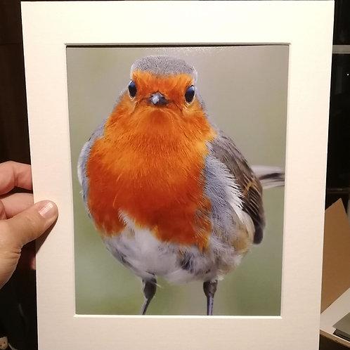 10x8 Robin portrait print