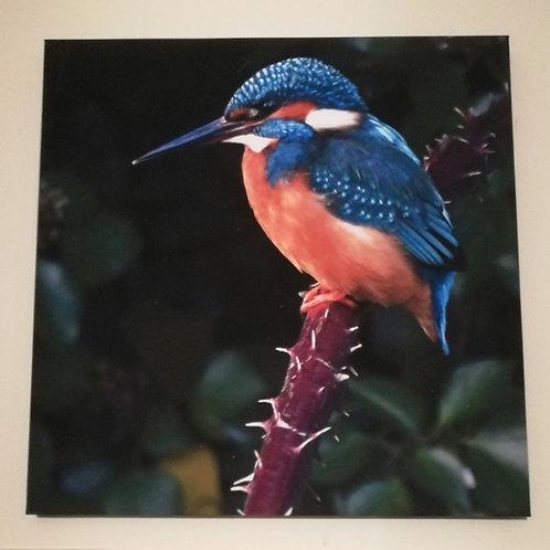 Kingfisher - 16x16 canvas print
