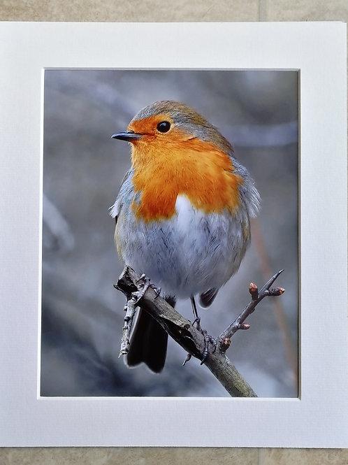 Proud Robin - 10x8 mounted print