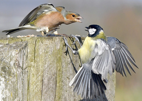68. Great Tit and Chaffinch.JPG
