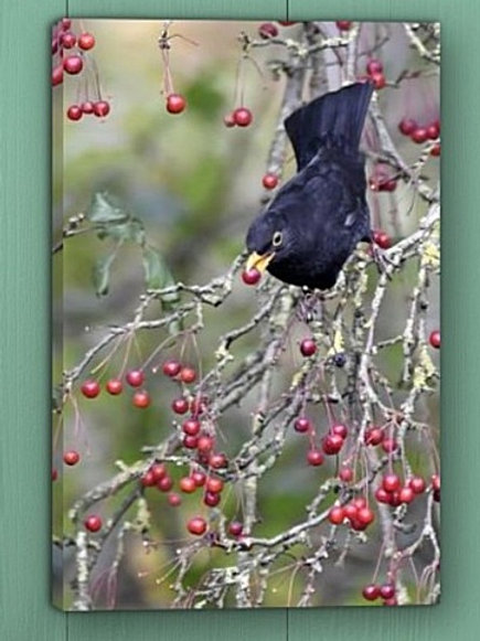 12x8 canvas print - Blackbird and Berries