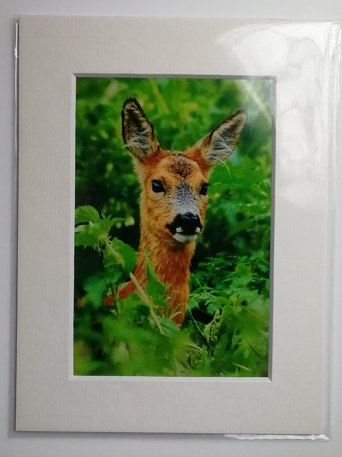 Roe Deer in nettles - 6x4 mounted print