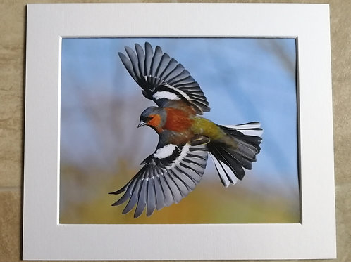 Chaffinch wings - 10x8 mounted print