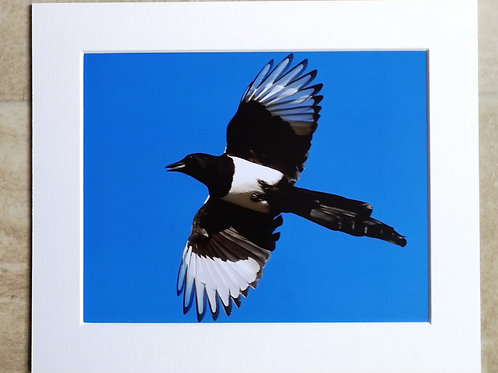 Magpie in the blue sky - 10x8 mounted print