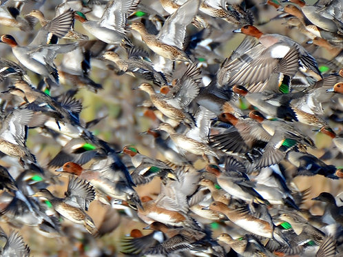 1000 piece jigsaw puzzle - Wigeon and Teal