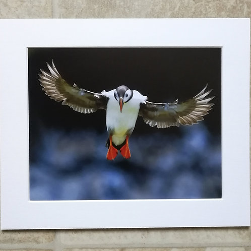 Angel Puffin - 10x8 mounted print