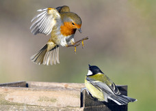 87. Robin and Great Tit.JPG