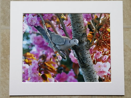 Collared Dove in blossom - 10x8 mounted print