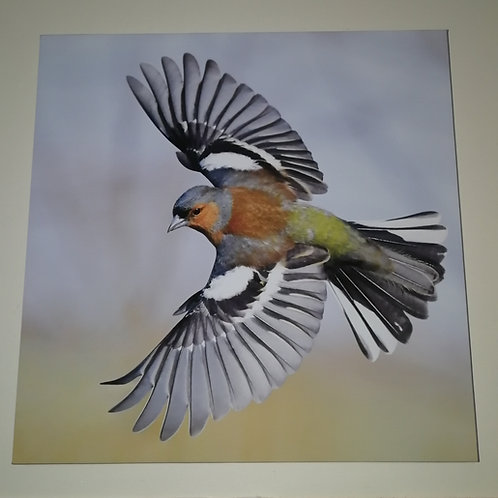 Canvas 16x16 - Male Chaffinch wings