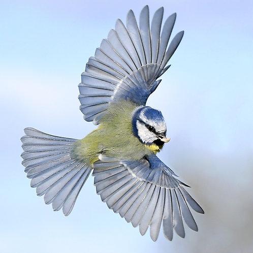Digital print - Blue Tit Wings