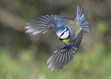 67. Blue Tit.JPG